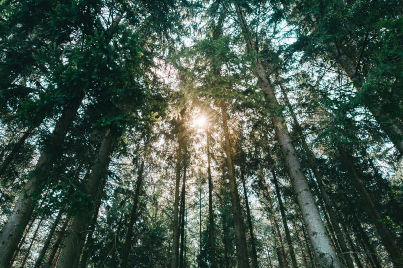 Sunshine Forest Trees